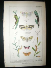 Cuvier C1835 Antique Hand Col Print. Chelonia, Caterpillar, Dicranoura 99 Moths
